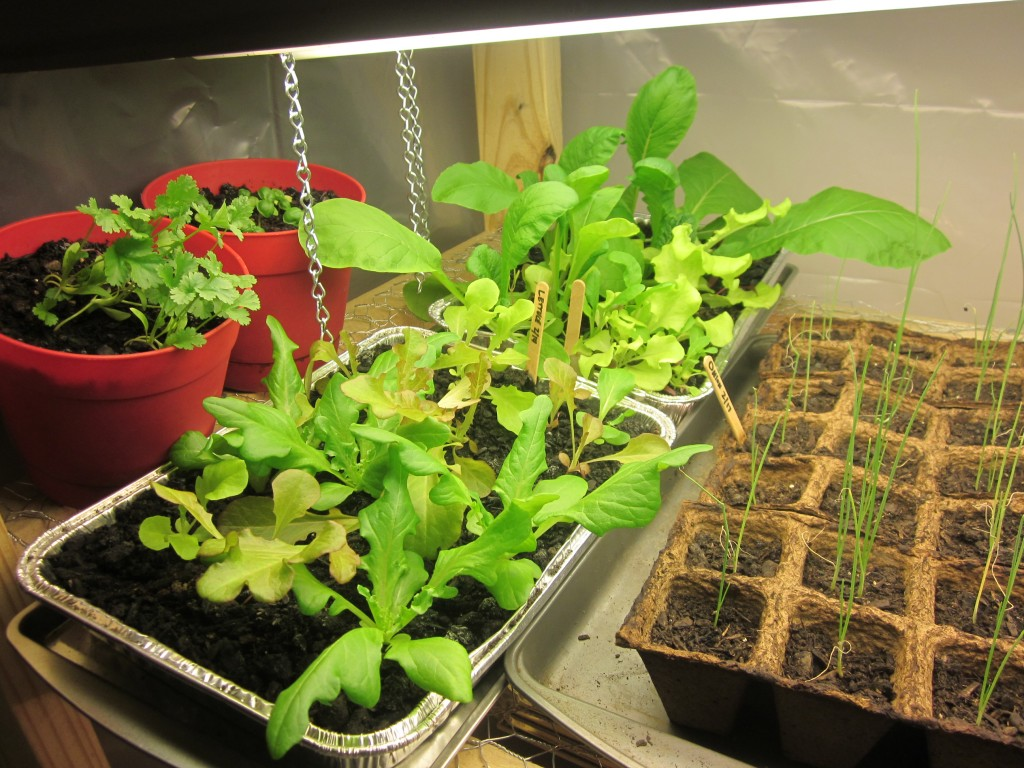 Grow Light - Lettuce, Onions, Cilantro, Basil - Close Up