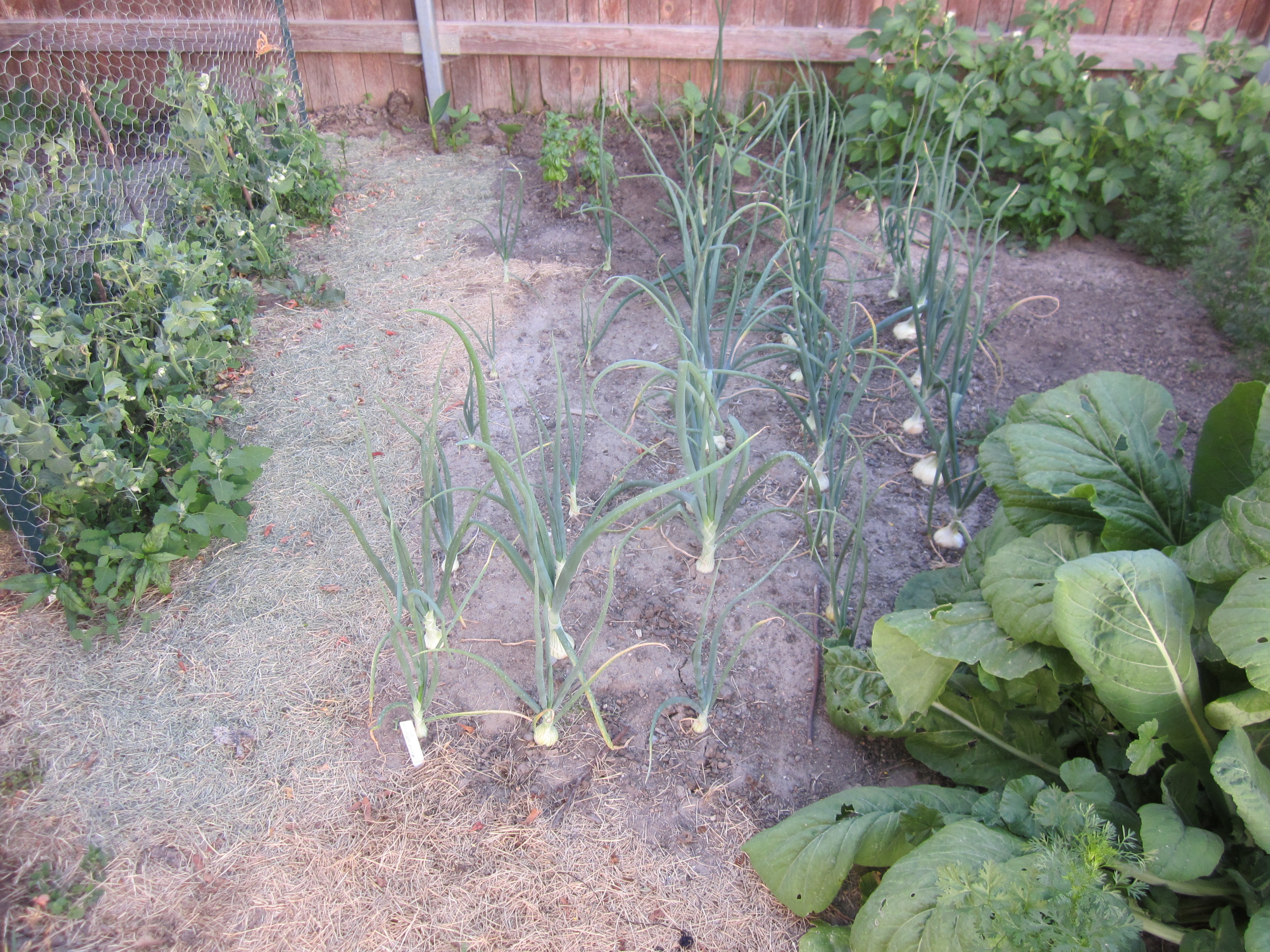 Onions and Peas Growing in the Garden