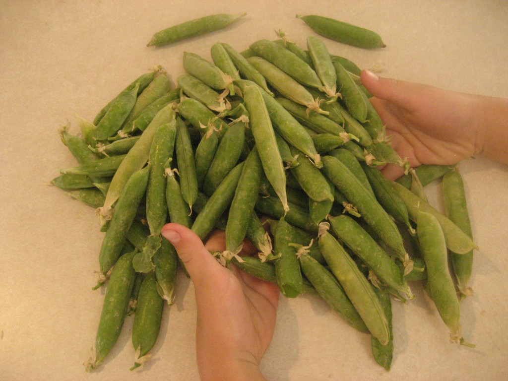Harvested Peas from 2012
