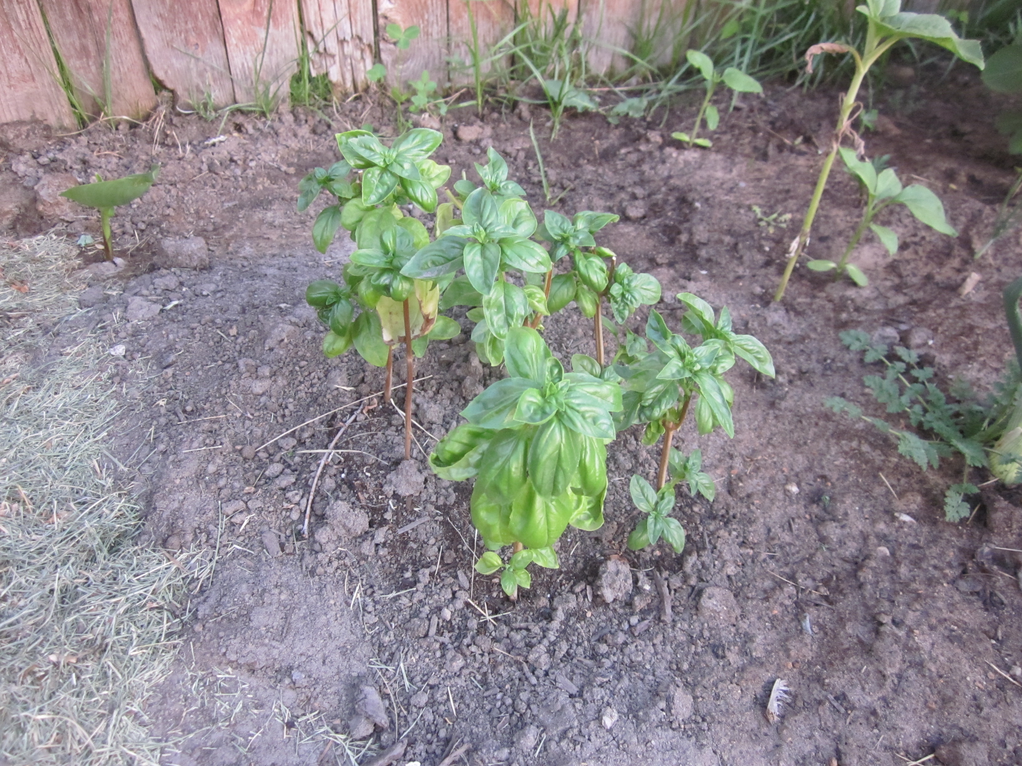 Here's the basil after transplanting it to my garden from the grow light