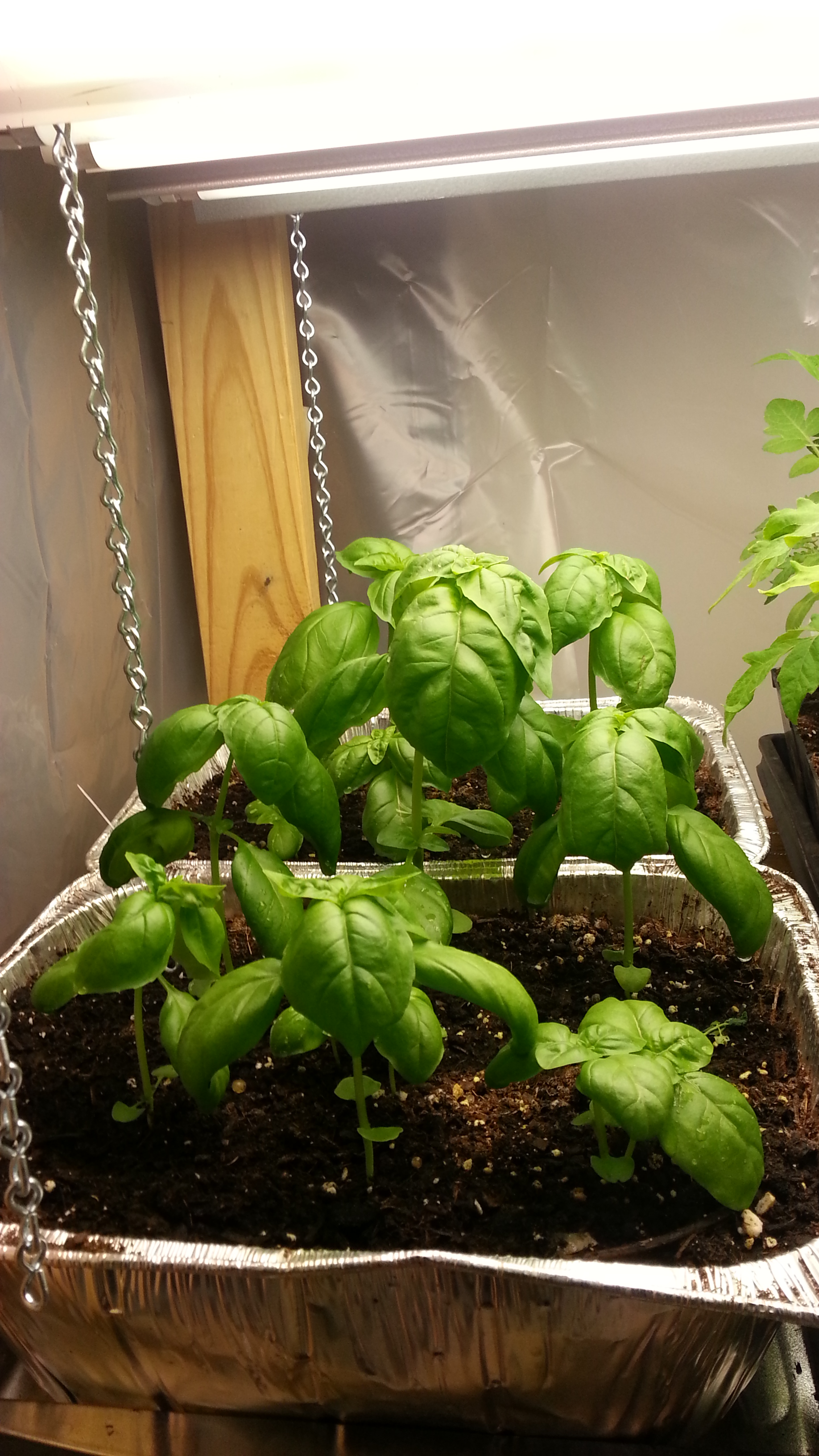 Grow Light Idaho Gardening Wiring Up Lights This Is Basil After About 55 Days Under My Its Just Ready